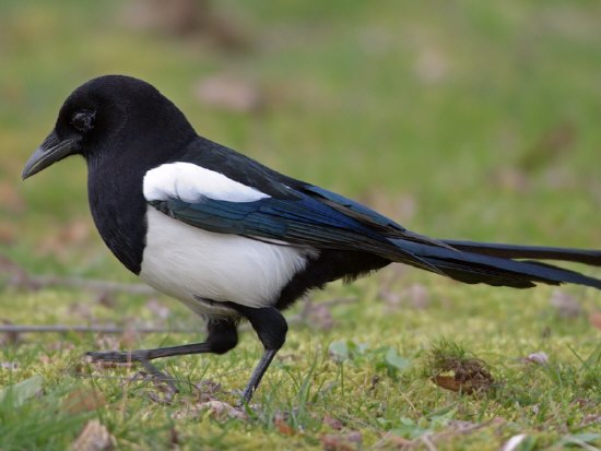 rabe kolkrabe vogellockrufpfeife gico natural toys elster vogel elster eichelh her. Black Bedroom Furniture Sets. Home Design Ideas